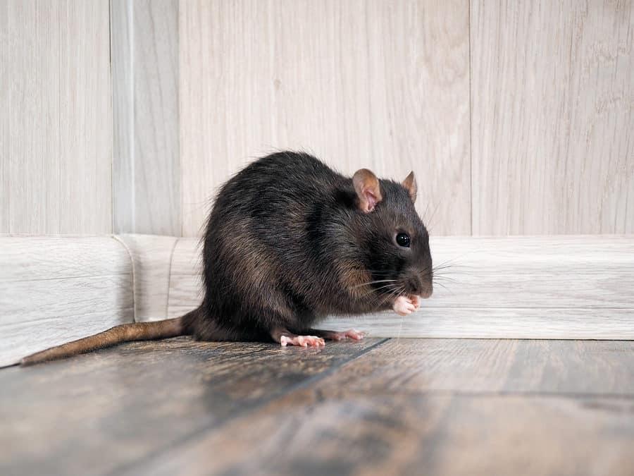 Rodent-BnR-Pest