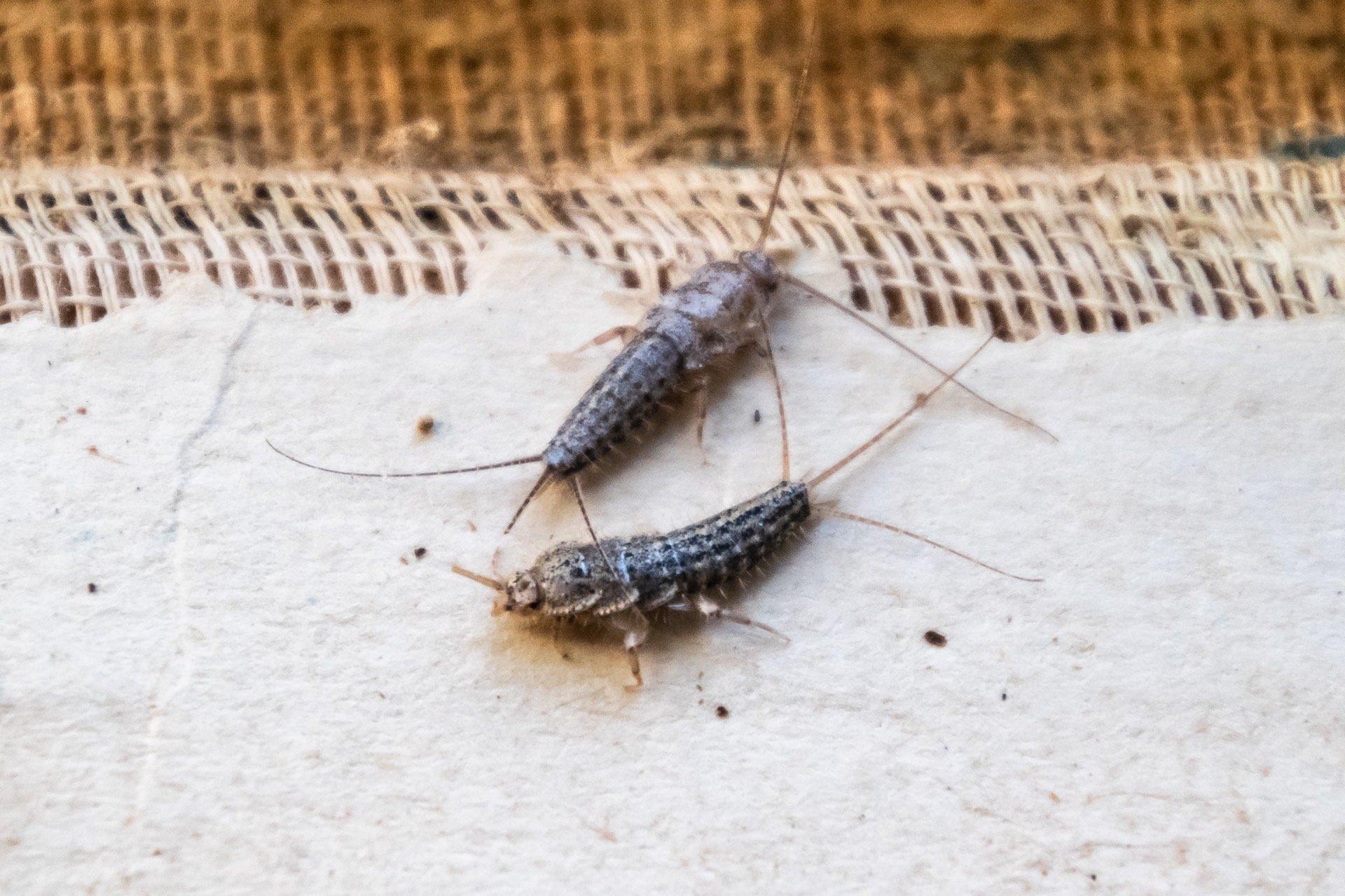 Silverfish-BnR-Pest