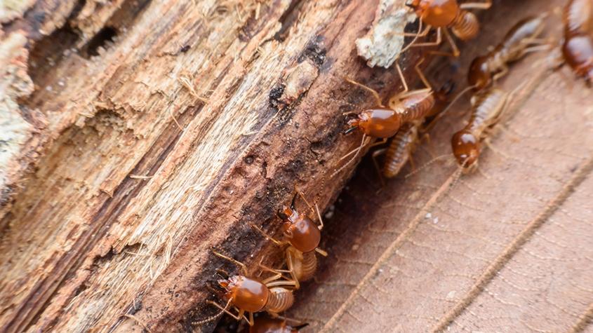 Termites-BnR-Pest